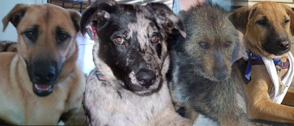 Distemper dogs treated with NDV